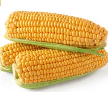 20 maiz choclero Maíz