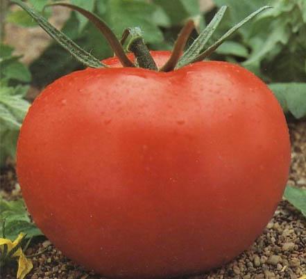 65 tomate cal ace Tomate