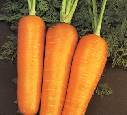 66 zanahoria chantenay red core Zanahoria